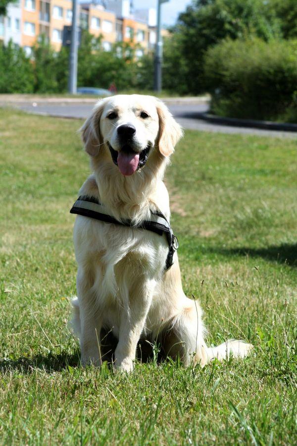 Zlaty Retrivr Pes Pro Tebe